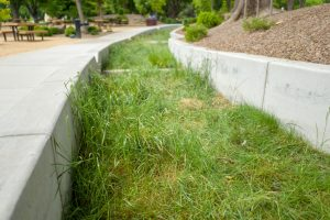 Close-up of grass growing in a bioswale or rain garden for catching rainwater runoff.