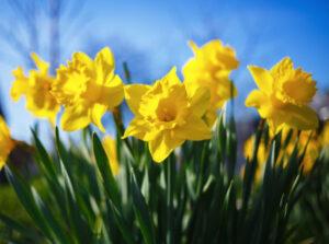 Flowering daffodils.